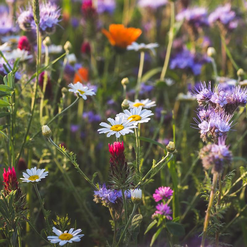 Wild Flower Mixes