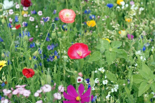 Bee and Butterfly Wildflower Meadow Mix