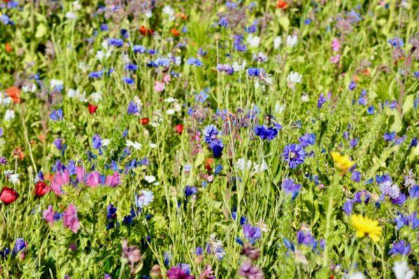 Cornfield Annuals Meadow Mix