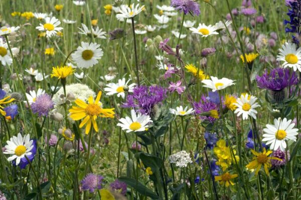 Hedgerow and Banks Wildflower Mix