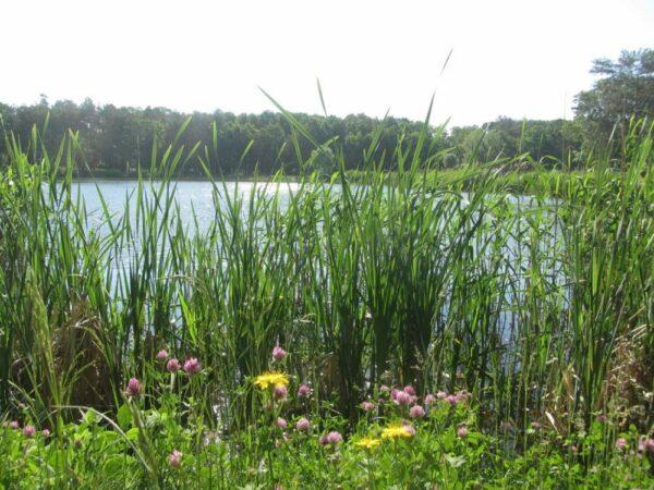 Wetlands and Pond Wildflower Mix