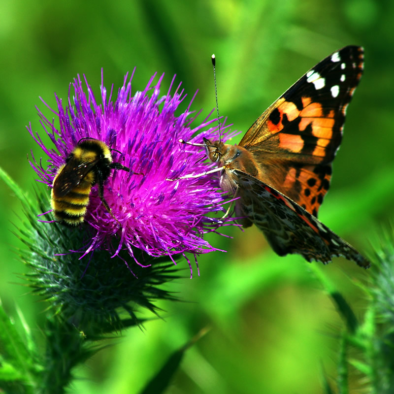 Wild Flower Bee and Butterfly Mix